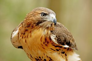 falcons for pest control