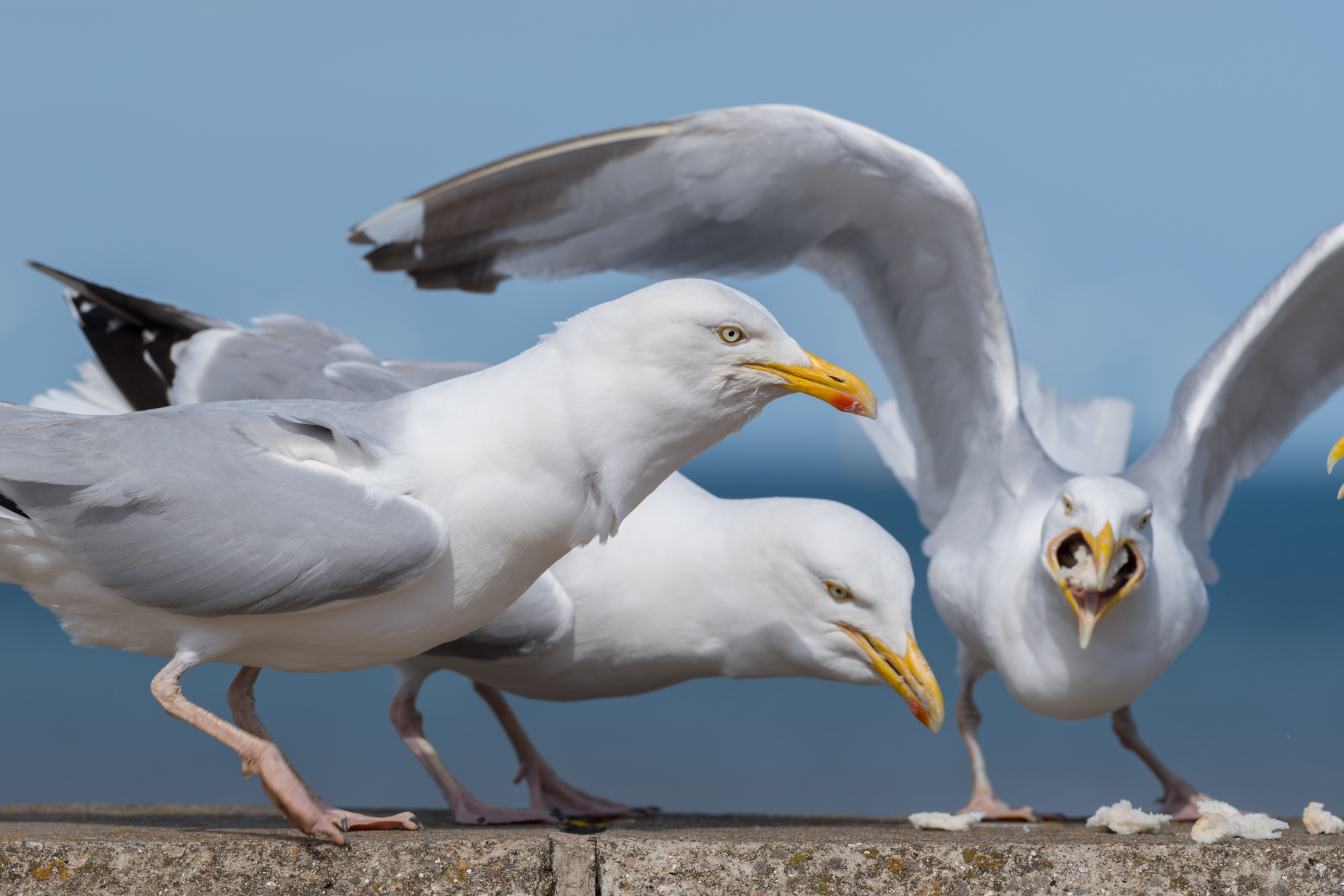 problems with seagulls