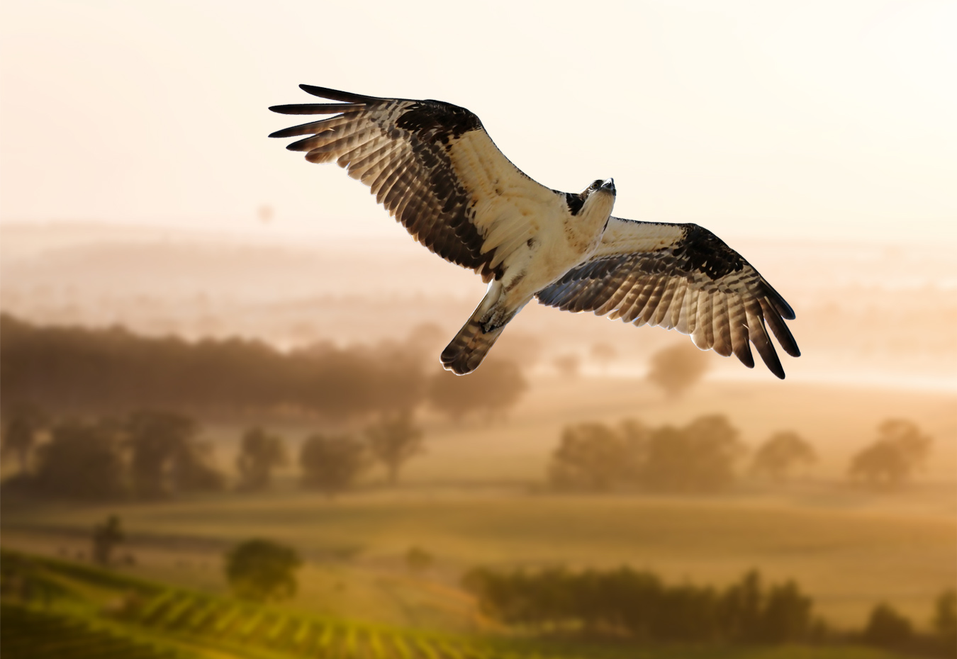 Falcon & Hawk Kites | Bird Control Products - Falcon Crop